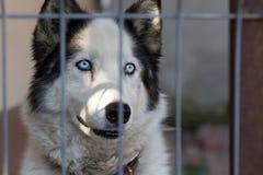Reizender heiserer Hund stockfoto