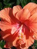 Reizender Hibiscus Stockfoto