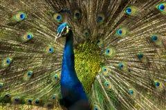 Reizender indischer Pfauvogel mit offenem Federgefieder an Kolkata-Zoo Stockbilder