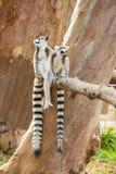 Reizendes Sitzen des Lemur zwei Stockbild