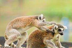 Reizendes Spielen des Lemur zwei Stockfoto