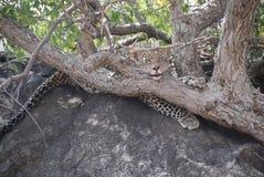Reizender Leopard Stockfotos