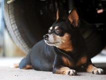 Reizender lustiger schwarzer netter fetter Minigrößenhund unter einem Auto Lizenzfreie Stockbilder