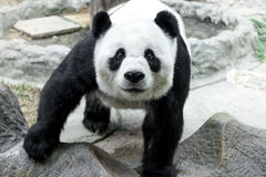 Reizender Panda, der Bambus isst Lizenzfreies Stockfoto