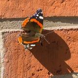 Reizender Schmetterling im Sonnenlicht Lizenzfreie Stockbilder