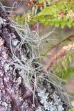 Reizendes Airfern, das innerhalb der Barke eines Baums wächst stockbilder