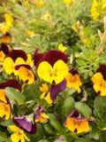 Reizendes Bündel gelbe Pansies draußen im Garten im Frühjahr Lizenzfreie Stockbilder