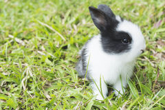 Reizendes Baby 2-Wochen-thailändisches Kaninchen Stockfoto