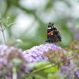 Reizendes Bild des Schmetterlinges Vanessa Atalanta des roten Admirals auf vibran Stockfotografie