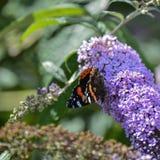 Reizendes Bild des Schmetterlinges Vanessa Atalanta des roten Admirals auf vibran Stockfoto
