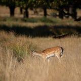 Reizendes Bild von Damhirsche Dama Dama auf dem Herbstgebiet und Waldlandschaftseinstellung stockbilder