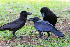 Reizendes Fungieren des schwarzen Krähenvogels auf grünem Feld Stockfoto