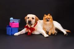 Reizendes gelbes Labrador und pomeranian Spitz Lizenzfreies Stockbild