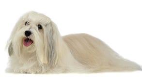 Reizendes langes Haar Shi-Tzu in einem weißen Hintergrund Stockfoto