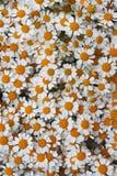 Reizendes orange Blütengänseblümchen blüht Hintergrund Lizenzfreie Stockfotografie