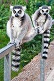 Reizendes Sitzen des Lemur zwei Lizenzfreie Stockfotos