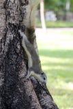 Reizendes Streifenhörnchen Lizenzfreies Stockbild