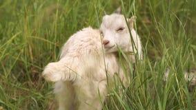 Reizendes weißes goatie, das seinen Pelz in einer grünen Weide in SlomO säubert stock video