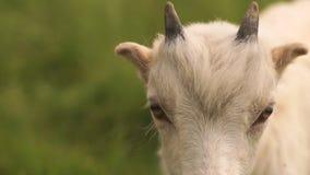 Reizendes weißes goatie, das vorwärts in einer grünen Weide im Sommer in SlomO schaut stock video