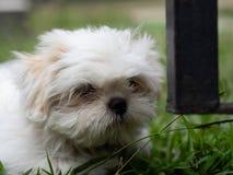 Reizendes weißes Shih Tzu Puppy lizenzfreie stockfotos