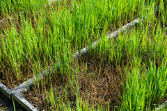 Reject rice seedlings  nursery in trays Stock Photography