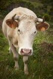 Rejestrowa krowa na wsi w Flores wyspie Azores, port Obrazy Stock