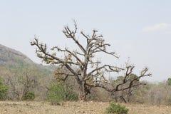 Rejuvenescendo a árvore Imagens de Stock Royalty Free