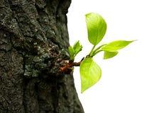 Rejuvenescimento velho da árvore imagens de stock royalty free