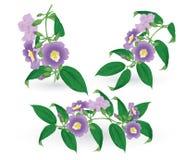 Rekening (Thunbergia Laurifolia Linn.) Stock Foto's