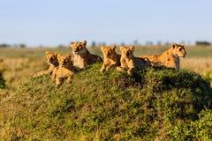 Rekero Lion Pride in Masai Mara Royalty-vrije Stock Foto