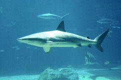 rekin Fotografia Stock
