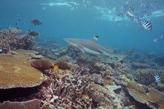 rekin czarny porada Zdjęcie Stock