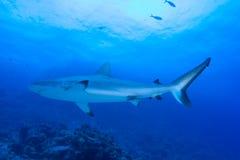 rekin czarny rafowa porada Fotografia Royalty Free