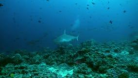 Rekin pływa przy krawędzią rafa w poszukiwaniu jedzenia zdjęcie wideo