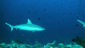 Rekin pływa przy krawędzią rafa w poszukiwaniu jedzenia zbiory wideo