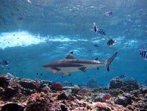 Rekin pływa statkiem nad rafą koralowa zdjęcia royalty free