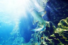 Rekin podwodny Obrazy Stock