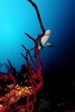 Rekin, podwodny obrazek Zdjęcie Stock