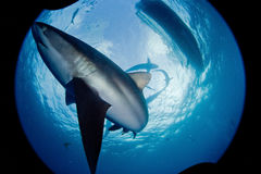Rekin, podwodny obrazek Zdjęcia Stock