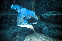 Rekin podwodny w naturalnym akwarium Fotografia Stock