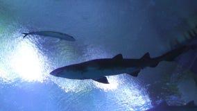 Rekin ryba w wodzie zbiory