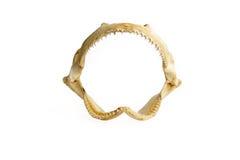 Rekin szczęka odizolowywająca na bielu Fotografia Royalty Free