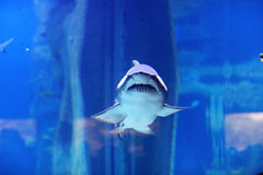 Rekin w basenie Fotografia Royalty Free