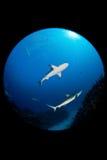 Rekin w oceanie Zdjęcia Stock