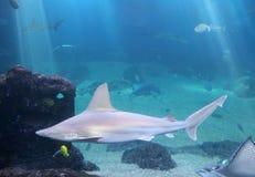 rekin whitetip rafowy Zdjęcie Stock