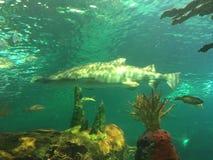 Rekinu dopłynięcie w zbiorniku z innymi nadwodnymi zwierzętami zdjęcie royalty free