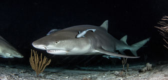 Rekinu pikowanie Obraz Royalty Free