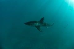 rekinu wielki biel zdjęcia royalty free