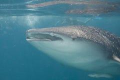 rekinu wieloryb Obrazy Stock