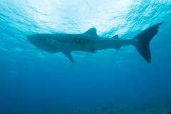 rekinu wieloryb obraz royalty free